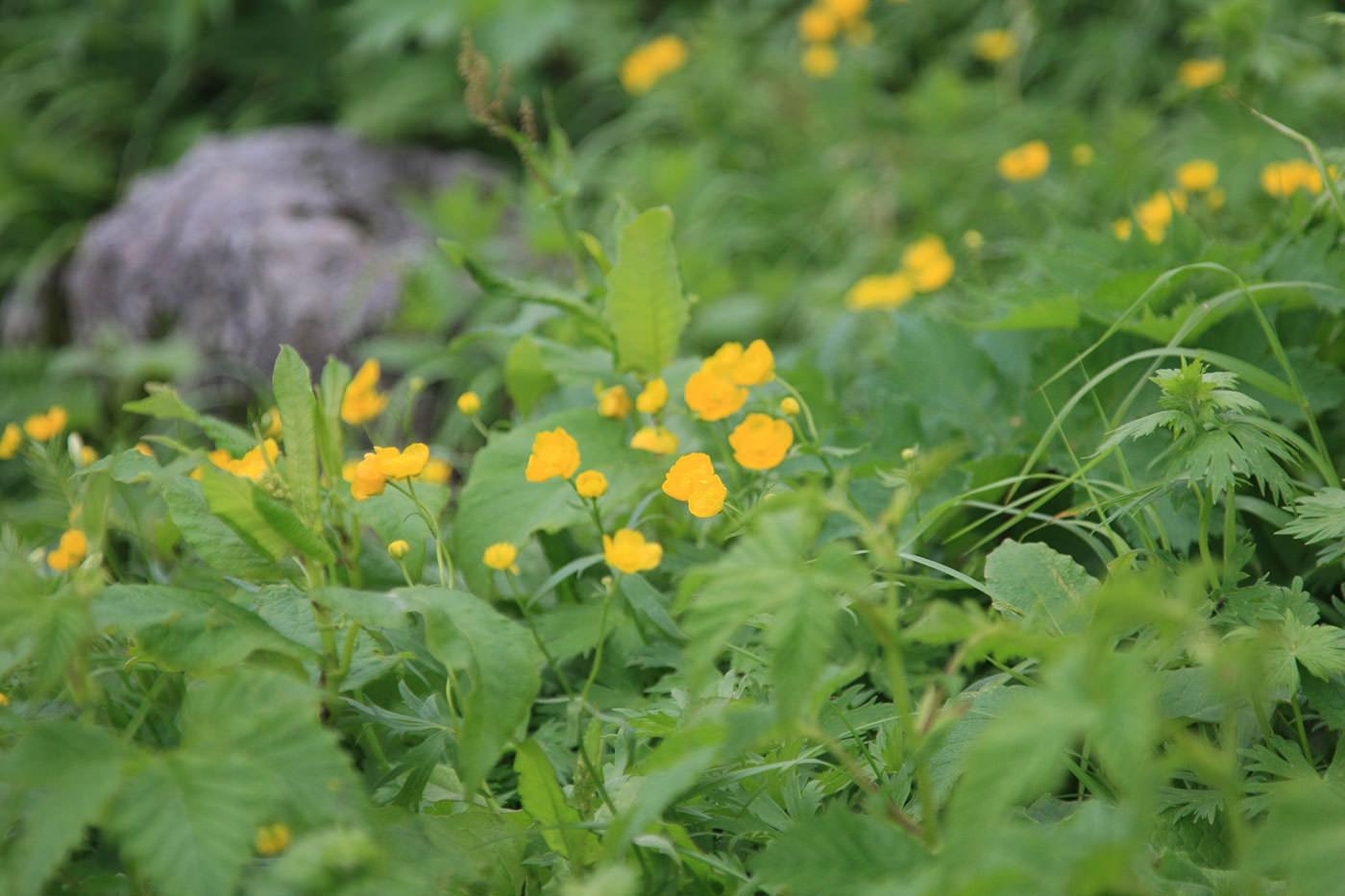 豊富な高山植物
