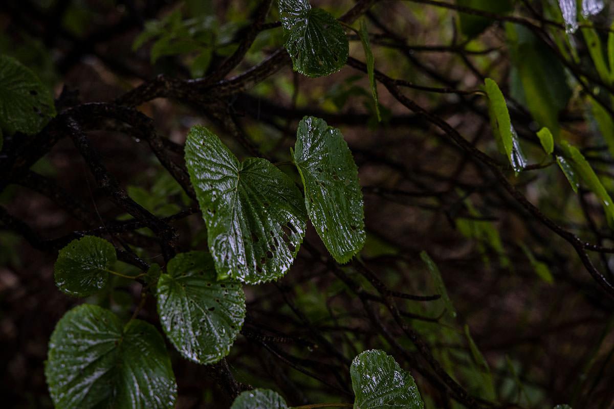志賀高原赤石山-葉っぱも濡れている