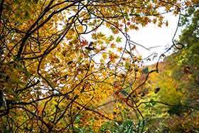 ブナの紅葉は透けるような黄色