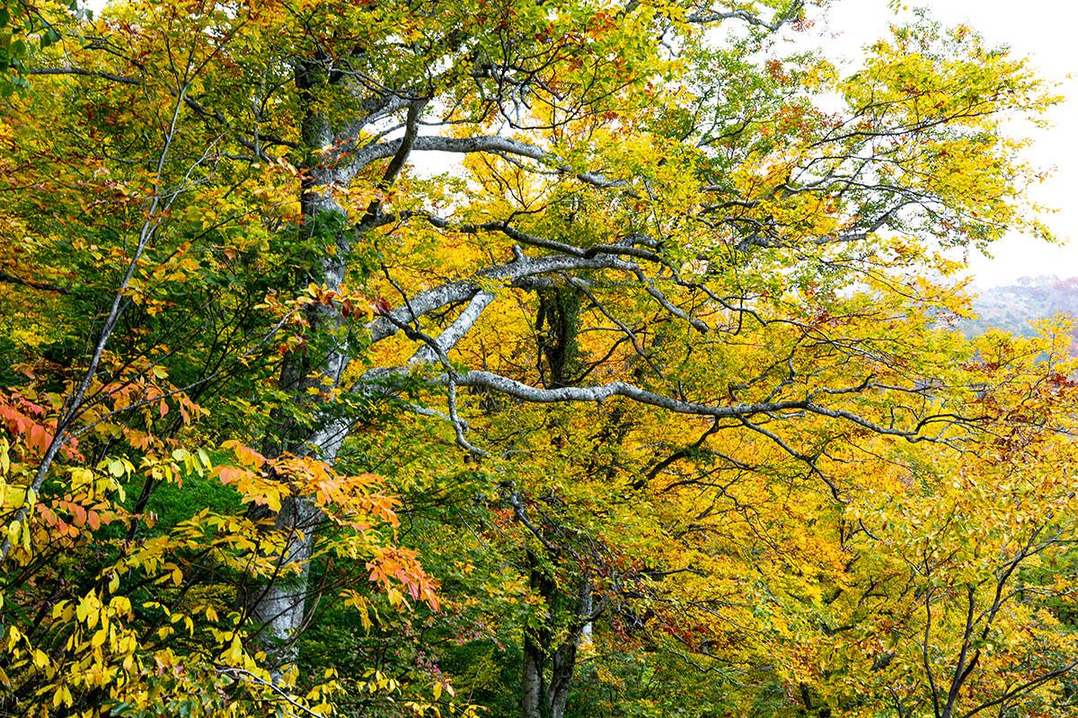 黄色と橙色とブナの青白い木肌が良かった