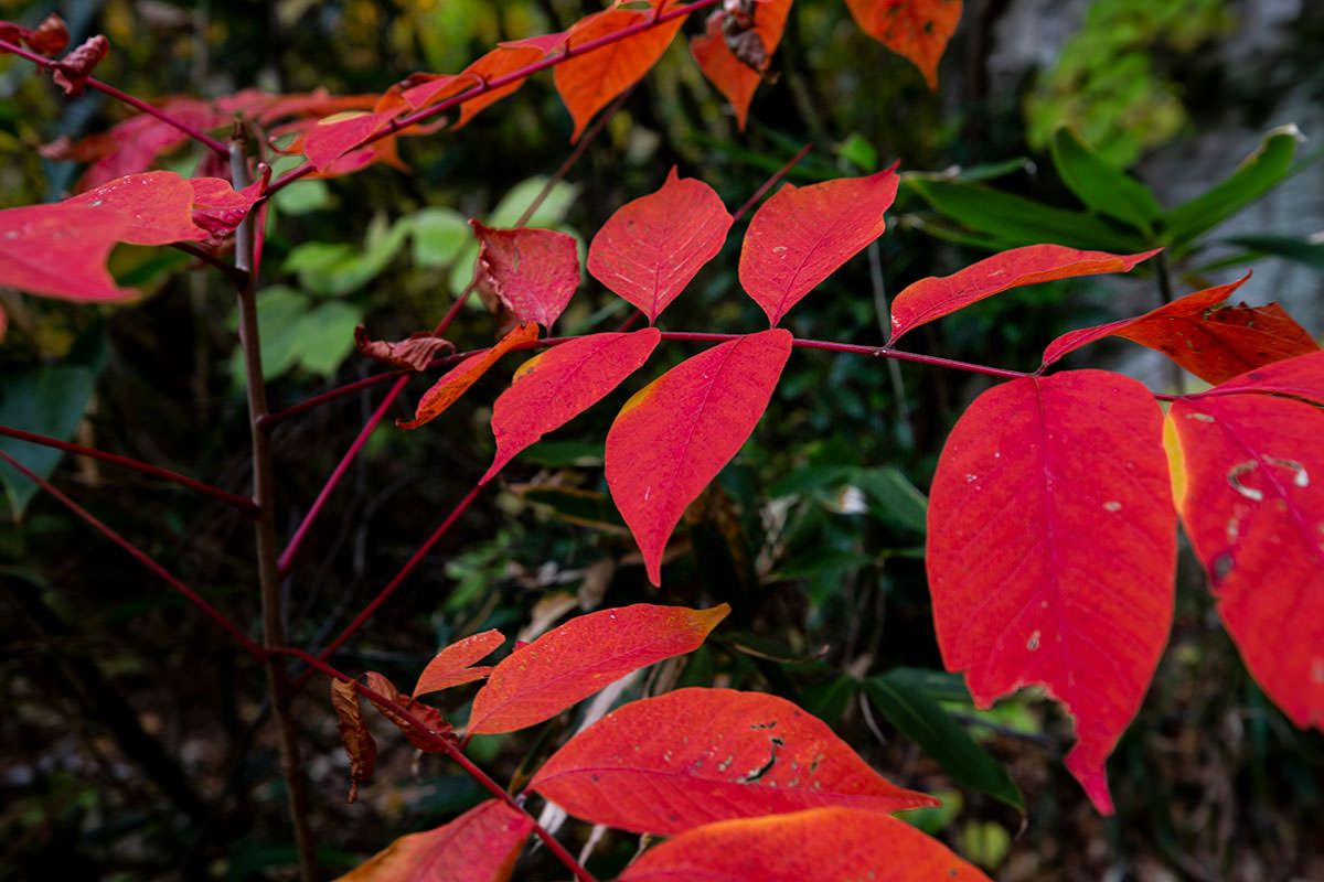 見かける真っ赤な葉っぱ