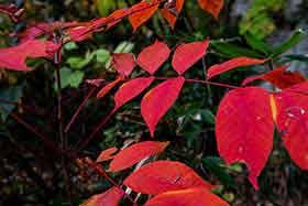 よく見かける真っ赤な葉っぱ
