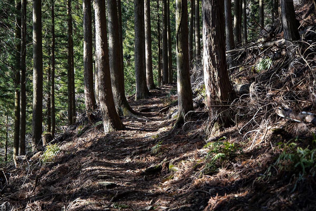杉林の登山道を登る