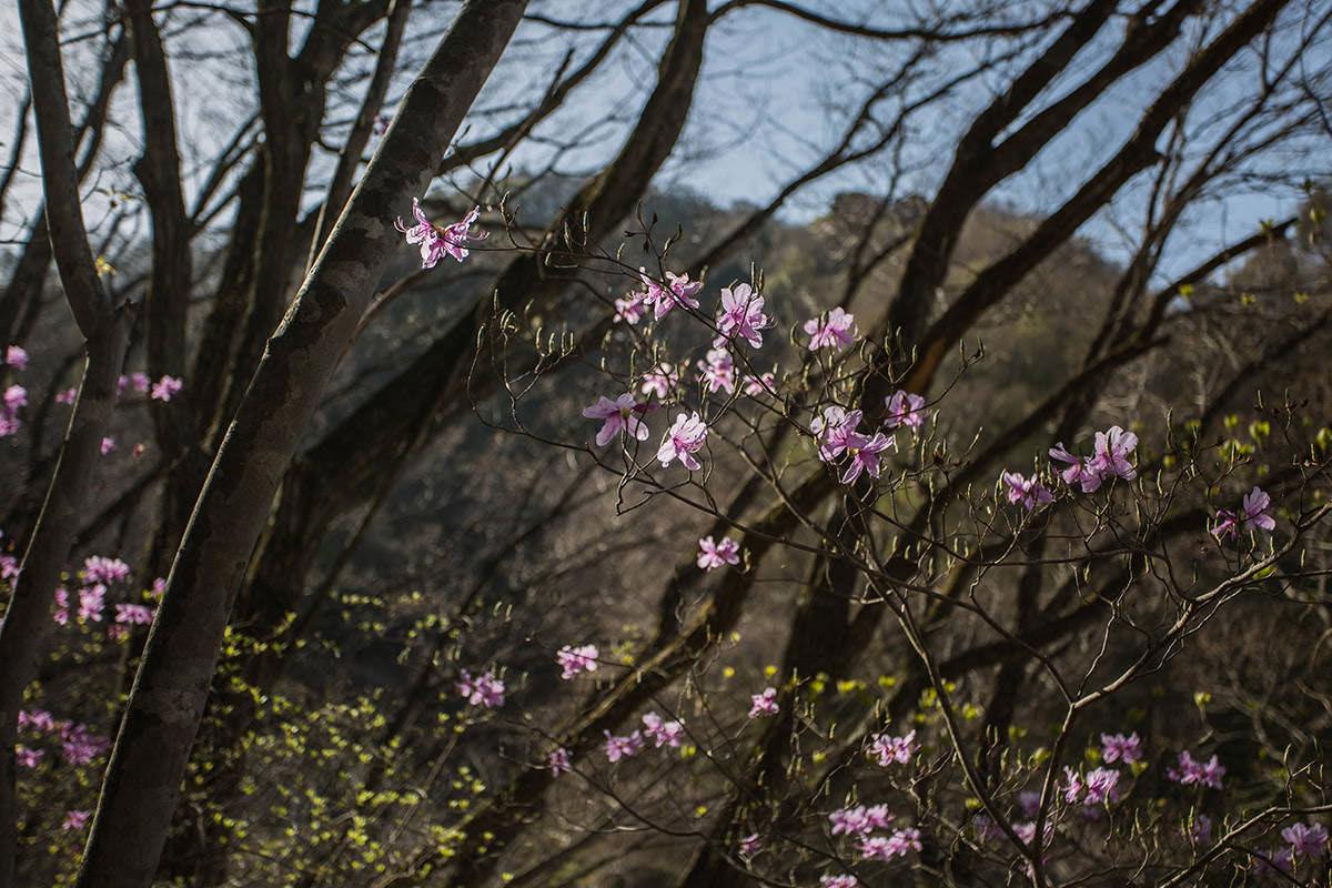 【大菩薩嶺 丸川峠分岐】登山百景-アカヤシオが咲いている