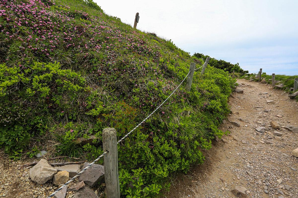 【大山 夏山登山道】登山百景-イワカガミがいっぱい