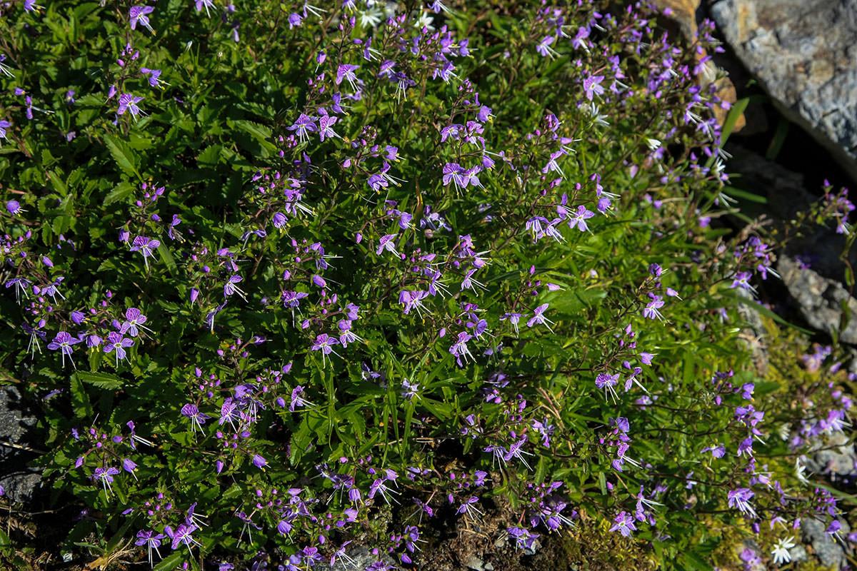 鞍部に咲く花