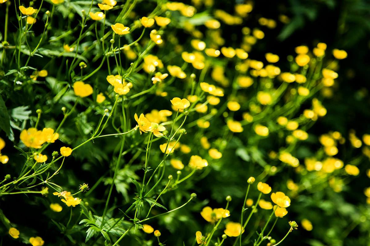 黄色い花はたくさん