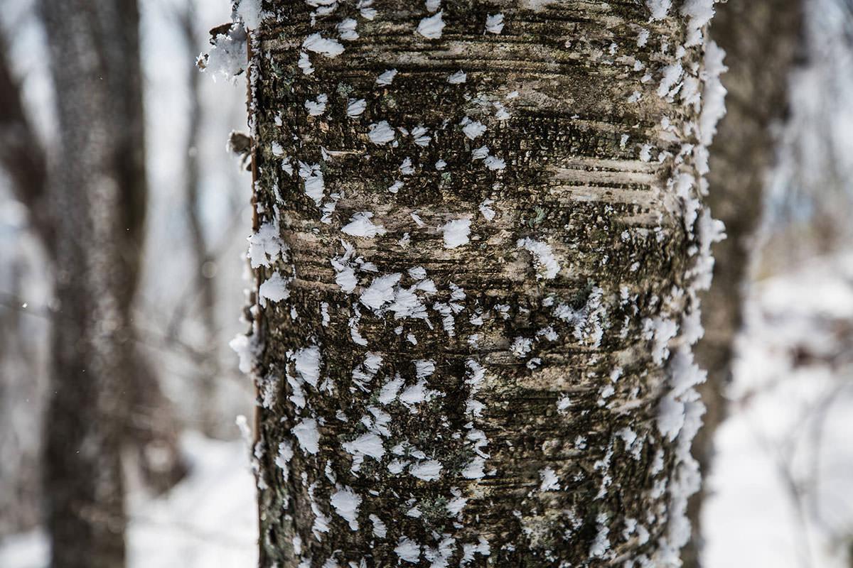 【聖山】登山百景-木の皮にも点々と雪