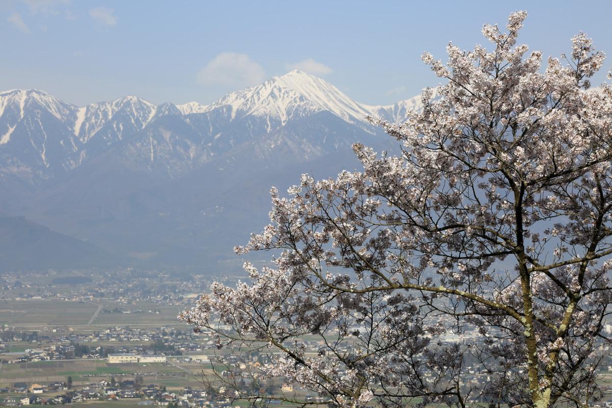 光城山で見る桜と常念岳