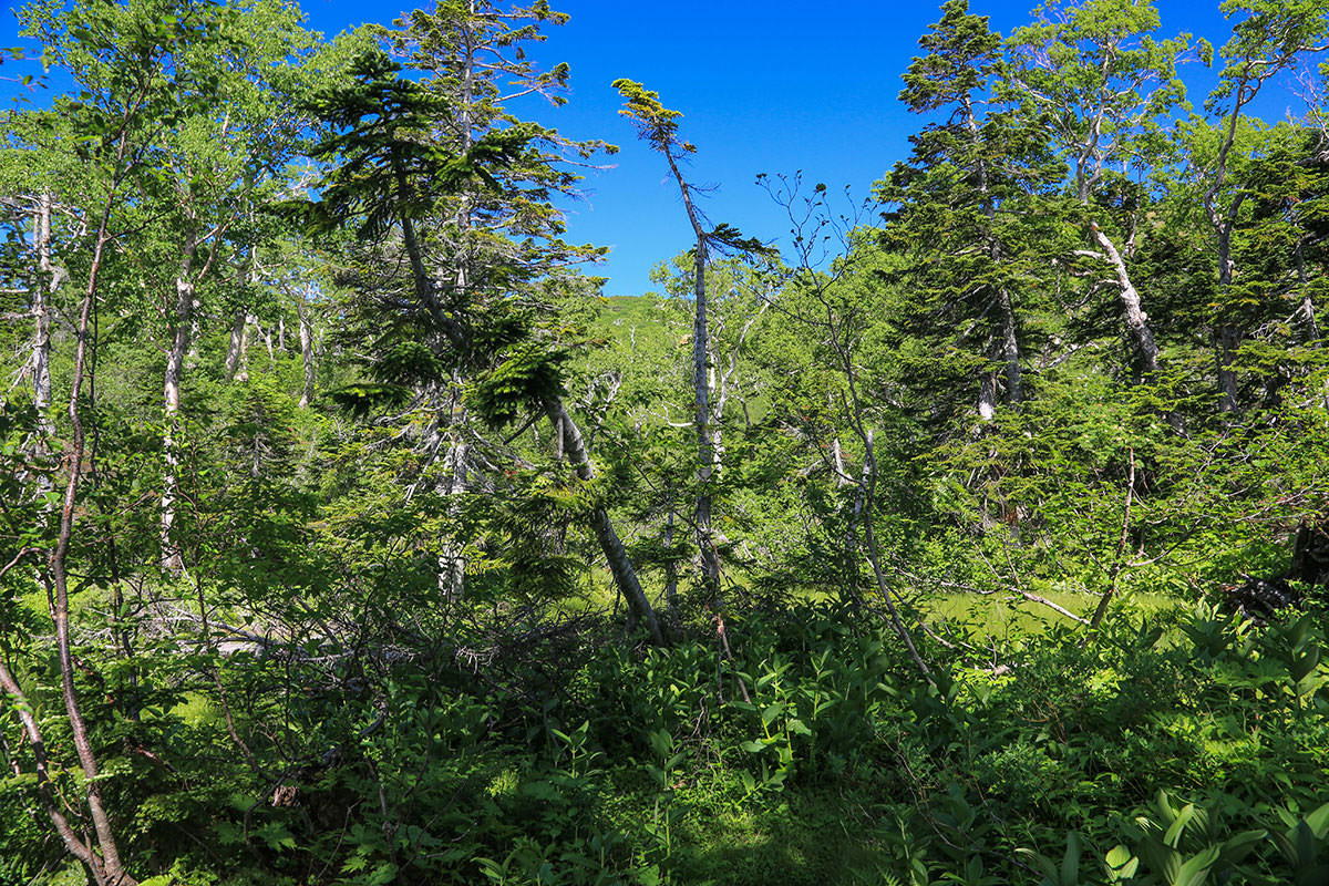 【燧ヶ岳】登山百景-木の間から俎嵓が見える