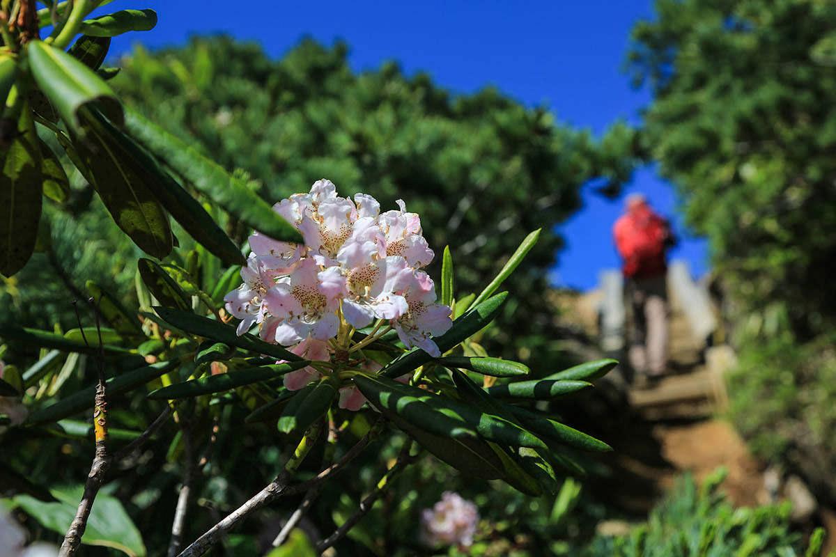 【燧ヶ岳】登山百景-シャクナゲも咲いてる