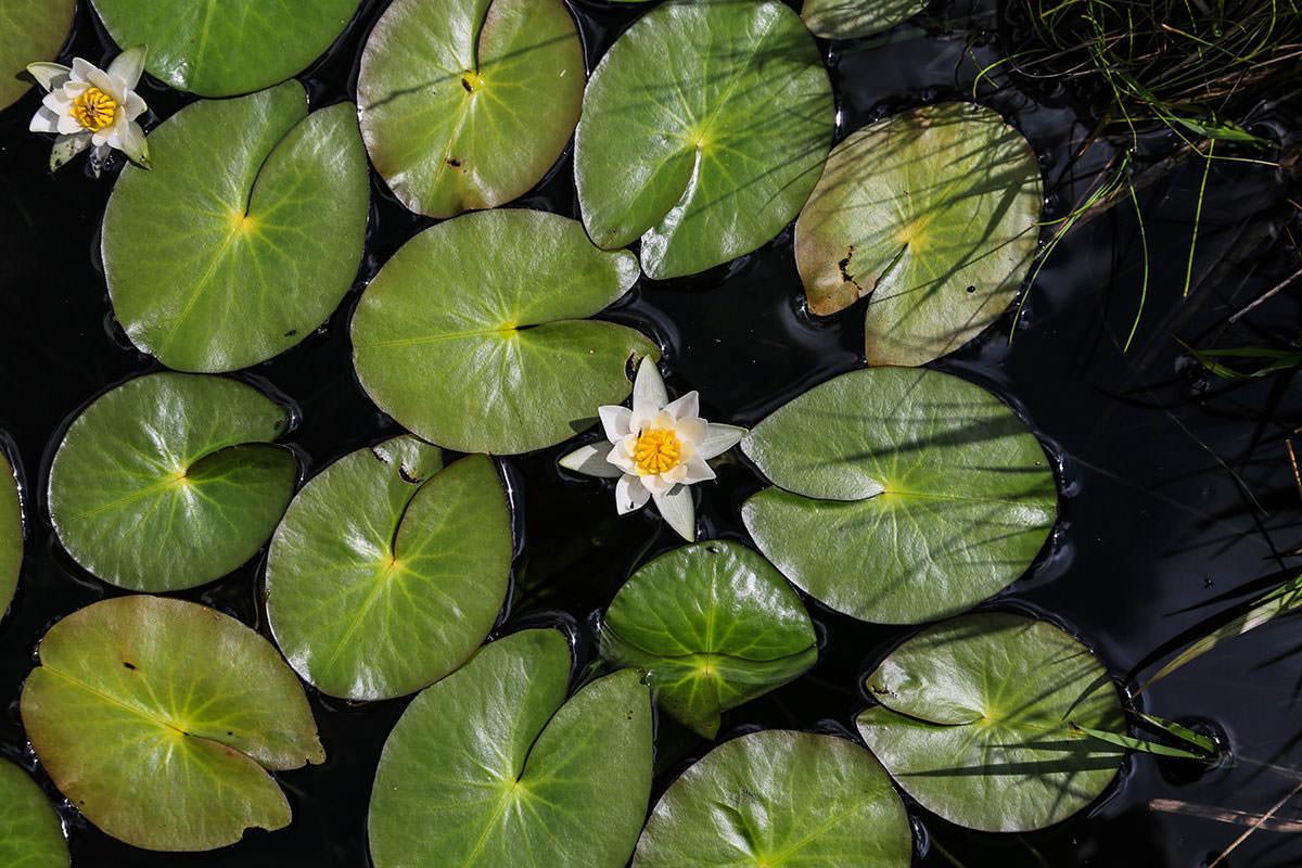 【燧ヶ岳】登山百景-睡蓮の花