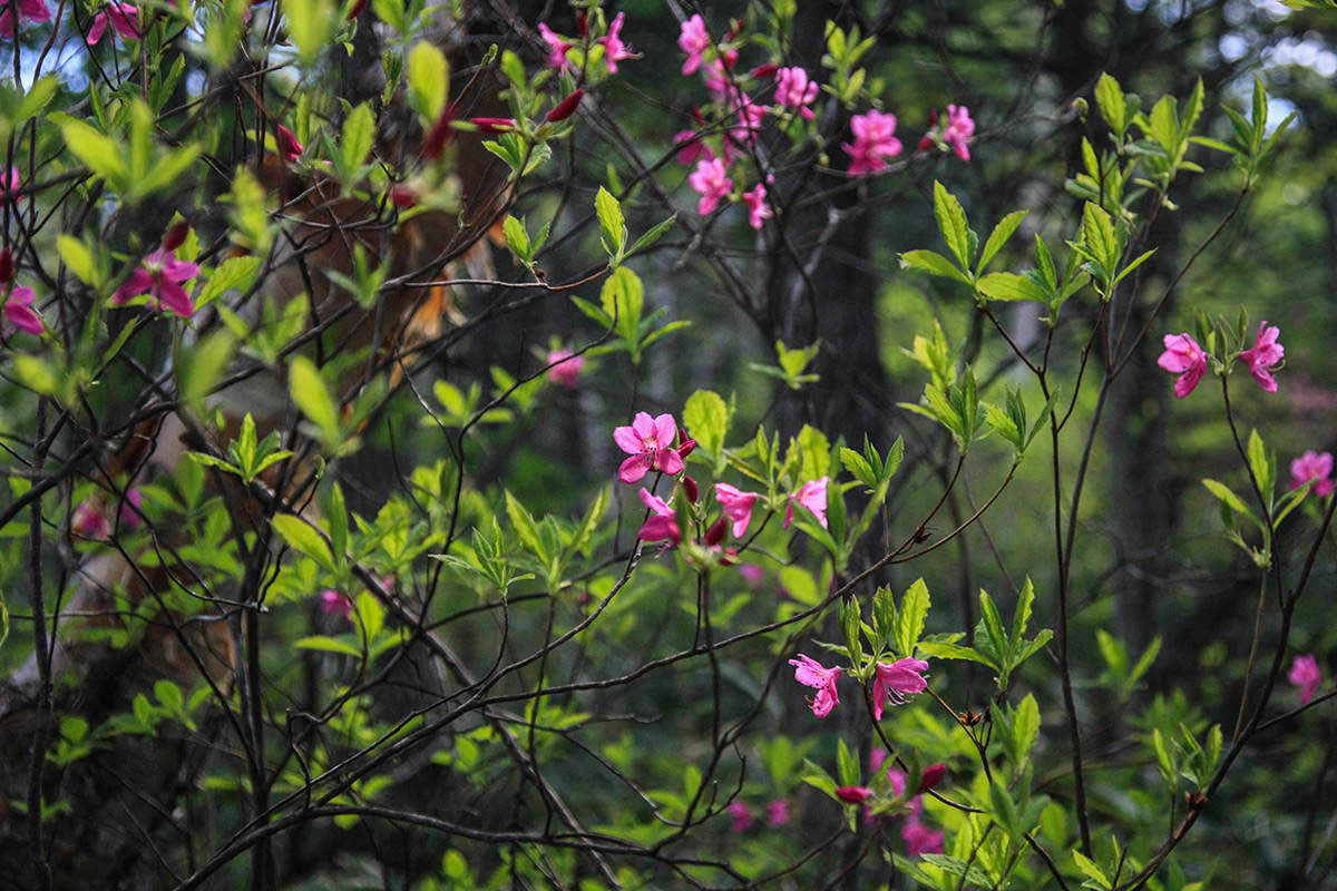 【飯縄山】登山百景-ピンクの花がいっぱい