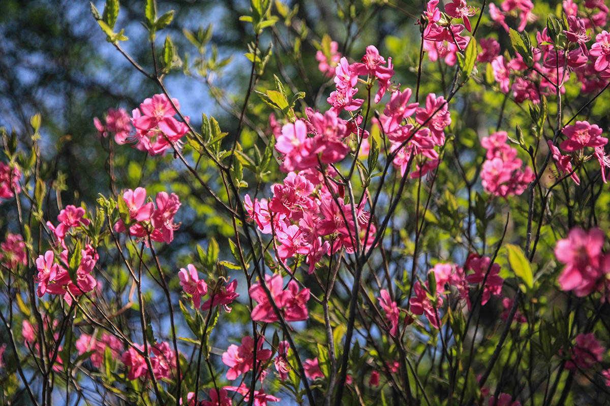 【飯縄山】登山百景-ピンクの花