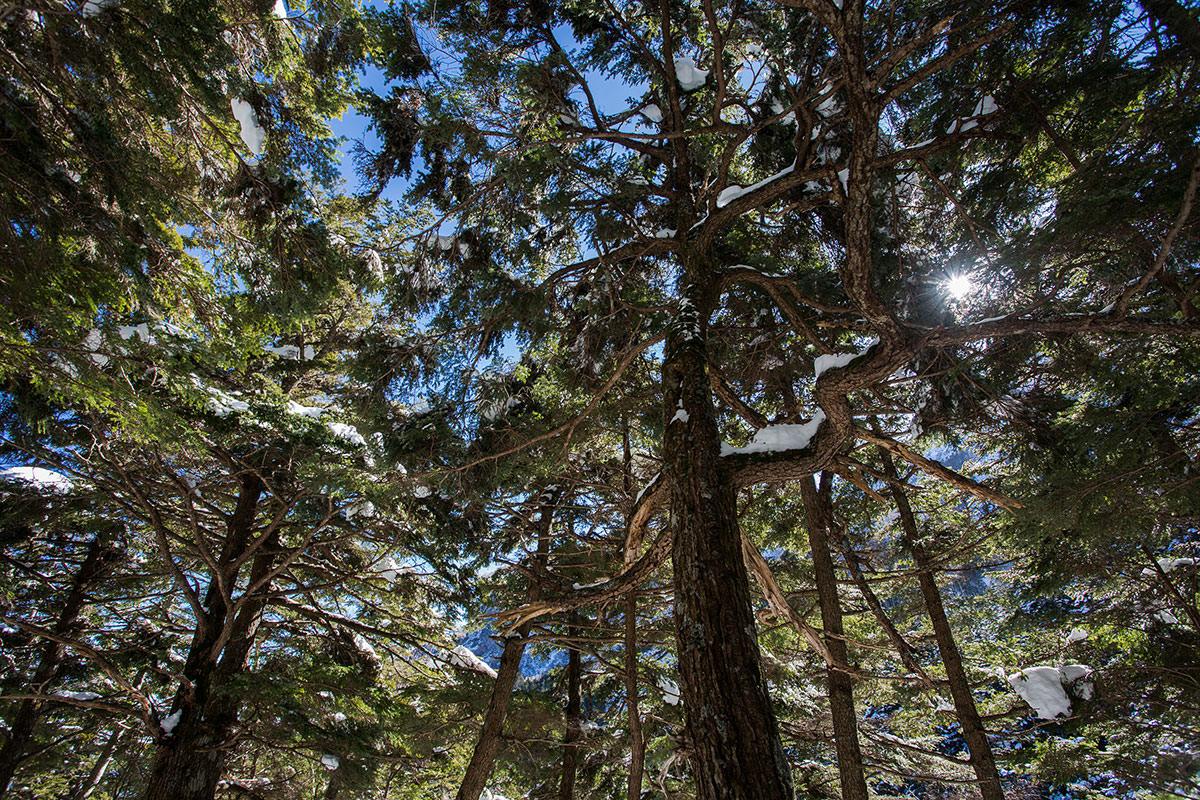【硫黄岳 本沢温泉】登山百景-木を見上げる