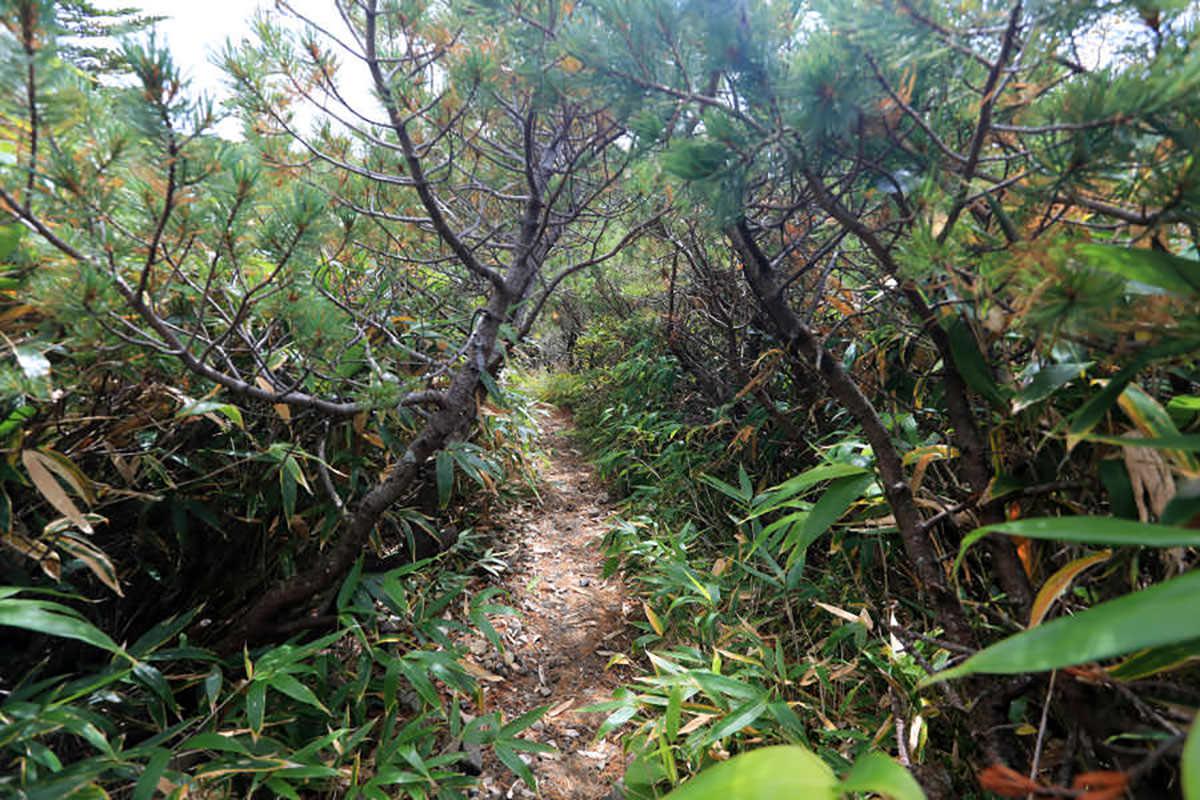【草津白根山】登山百景-鏡池の周りはハイマツのトンネル