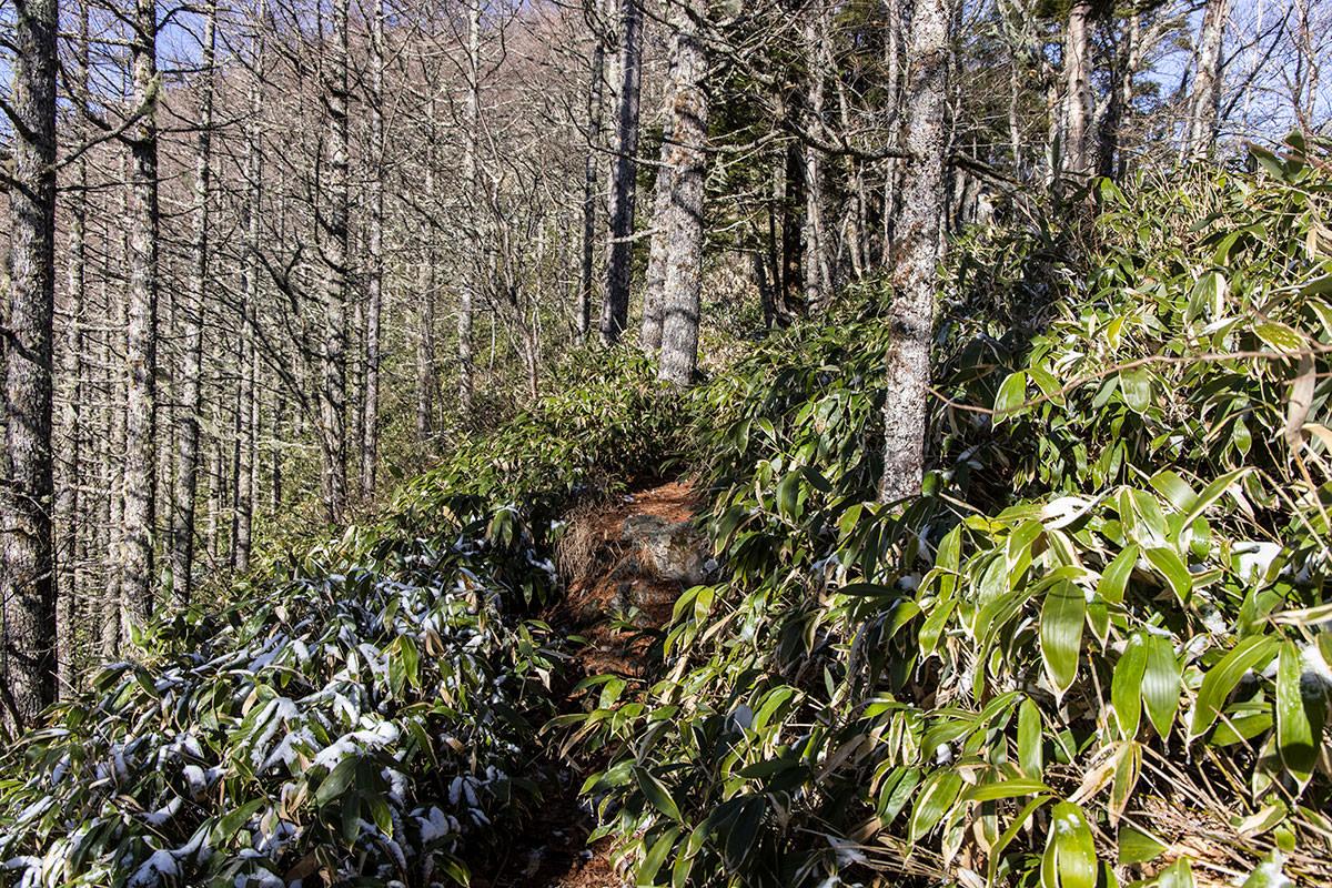 また笹が登山道を覆う