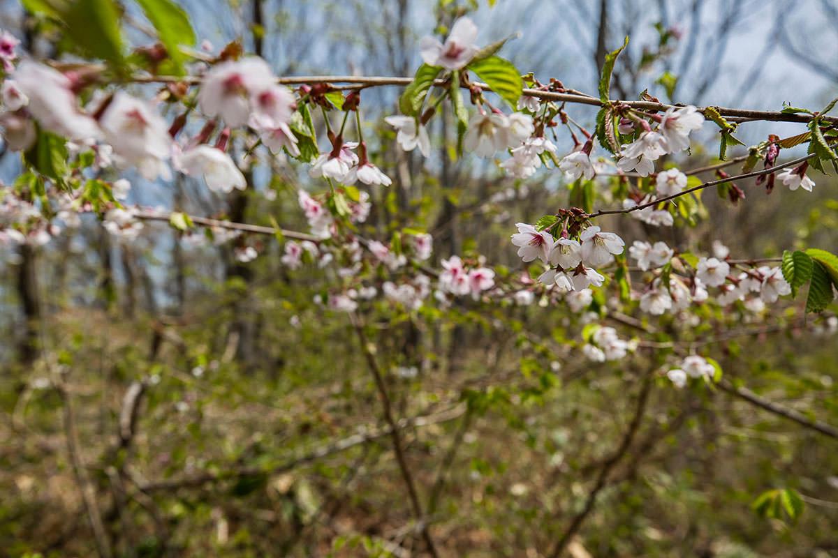 【斑尾山 菅川】登山百景-桜が咲いてた