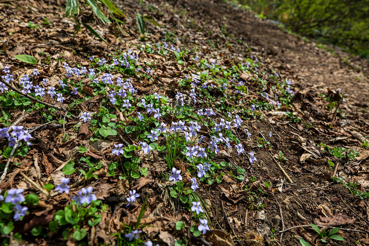 【斑尾山 菅川】登山百景-この花が多い