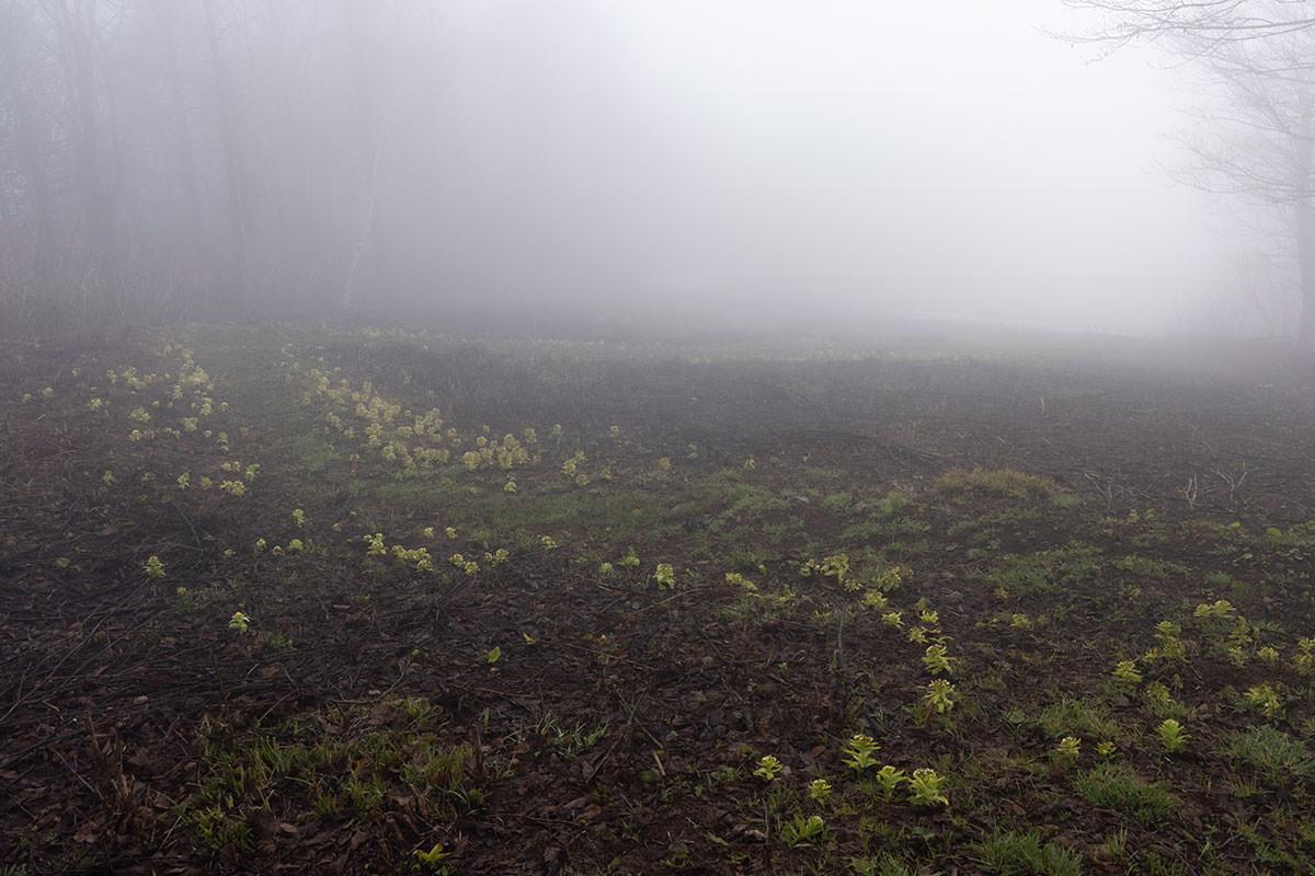 踏み跡の左右にはフキノトウがいっぱい