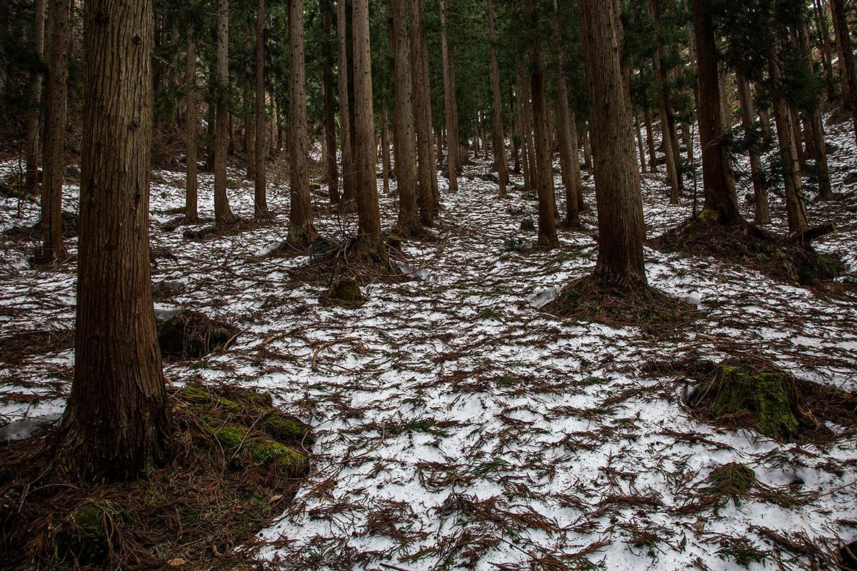 【万仏山】登山百景-杉がいっぱい