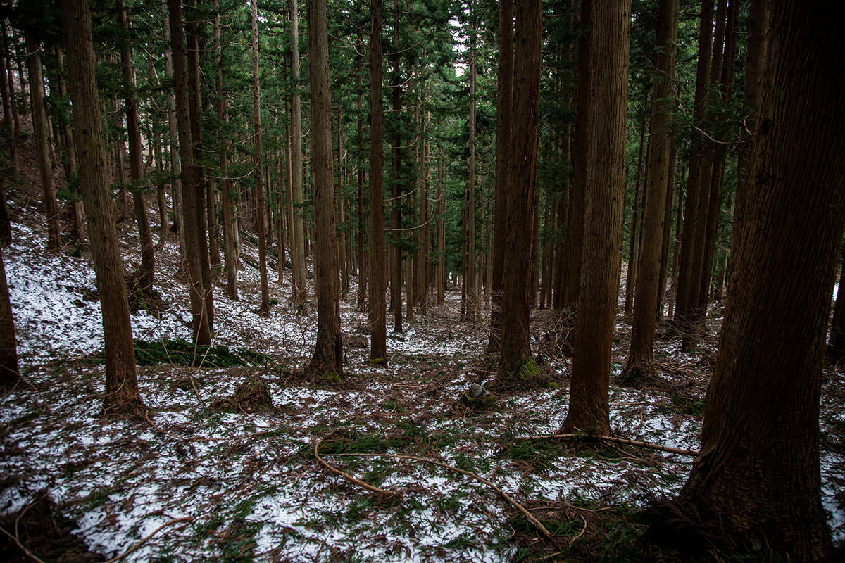 【万仏山】登山百景-杉の間を下りる