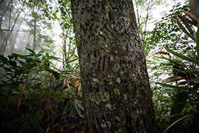 ブナの木肌には熊の爪痕が無数に