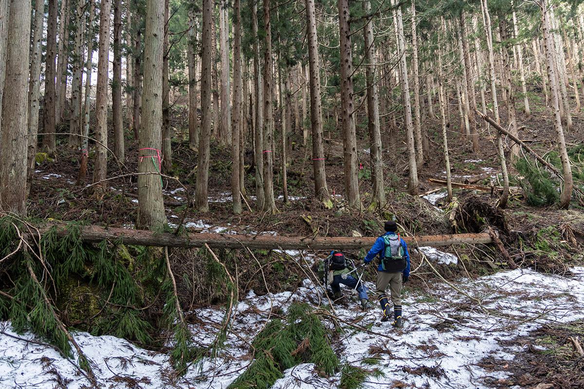 万仏山-杉林の中には倒木がいくつか