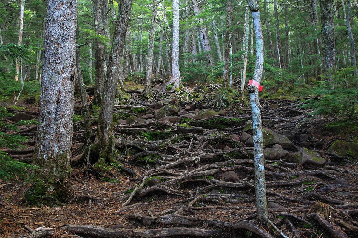 【南八ヶ岳 南北縦走】登山百景-木の根がビッシリ