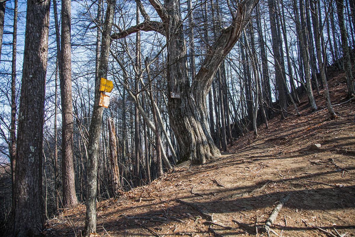 【茂来山】登山百景-栗の古木に出た