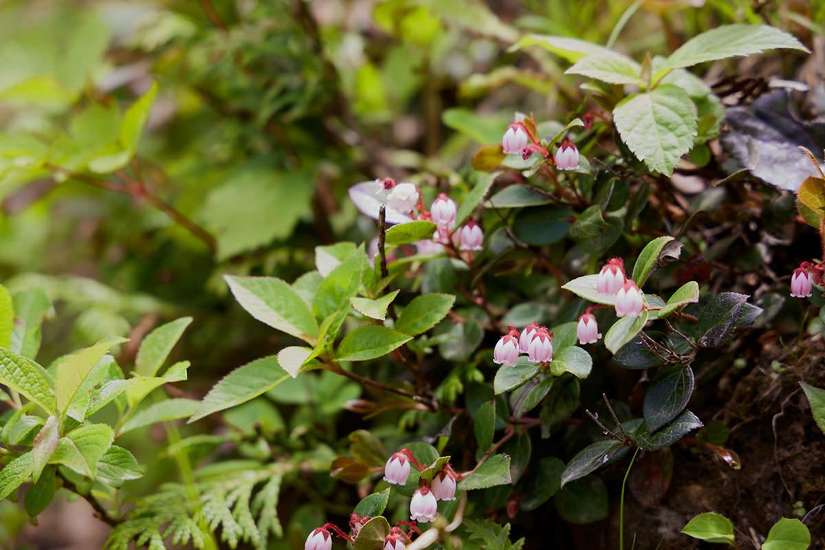 苗場山-序盤は花が目につく
