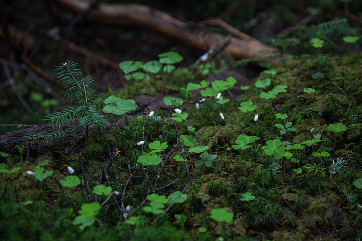 【にゅう】登山百景-白い花は閉じてる