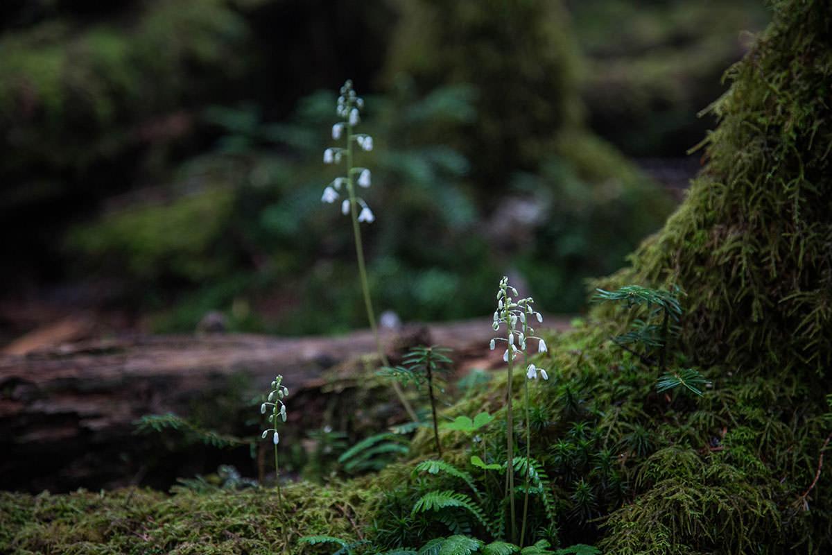 【にゅう】登山百景-苔の中に白い花
