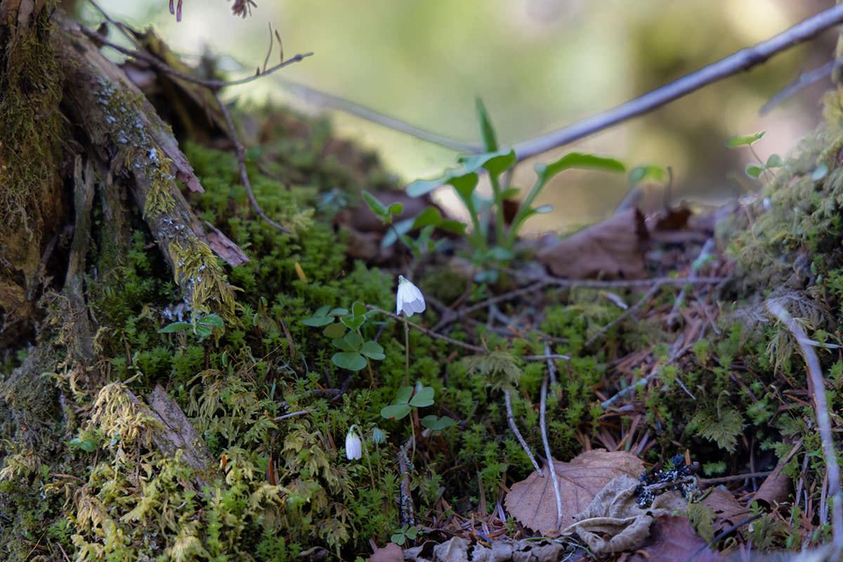 この小さな花は苔まわりでよく見かける