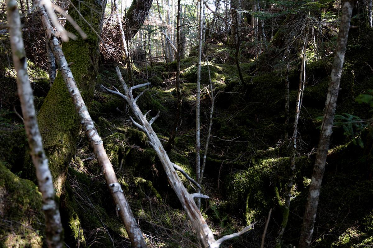 にゅう北八ヶ岳-倒木と苔