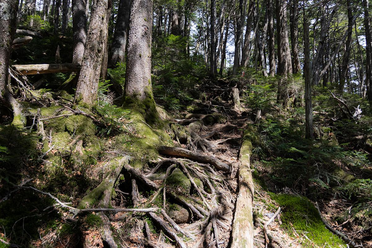木の根がいっぱいな坂を登る