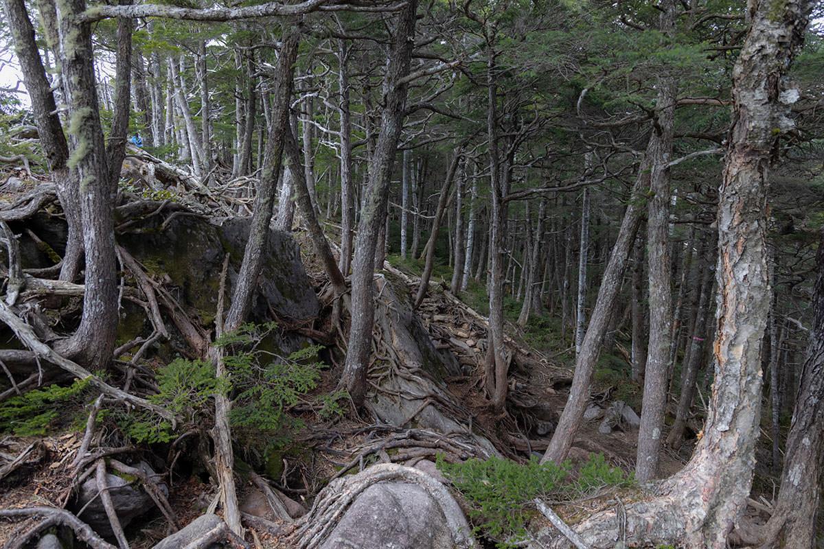 木の根がいっぱい