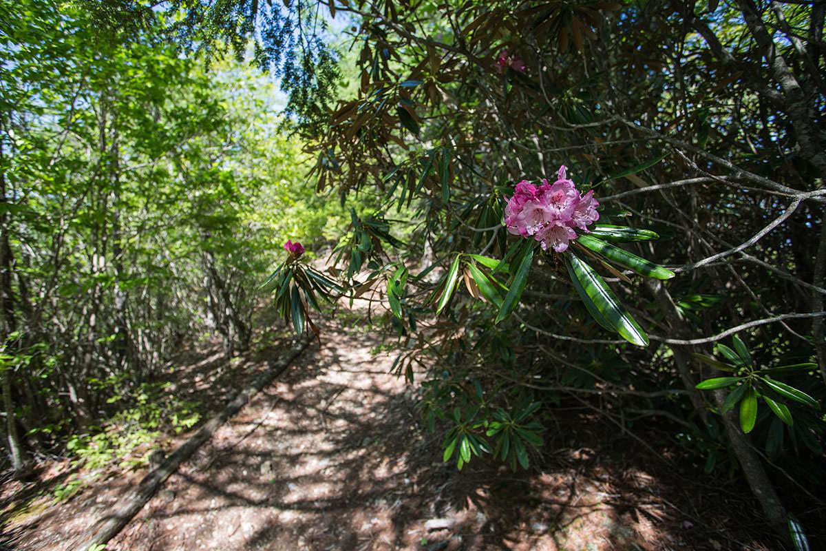 御座山-シャクナゲが咲いていた