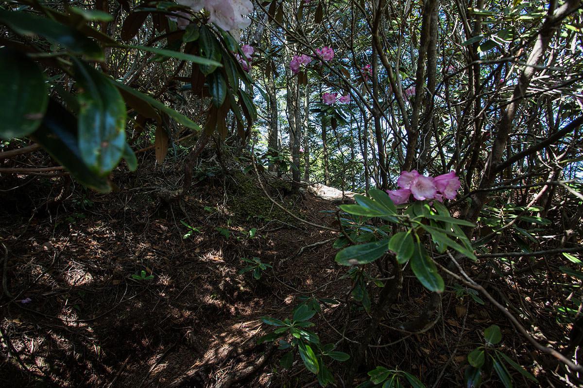 御座山-シャクナゲが多い