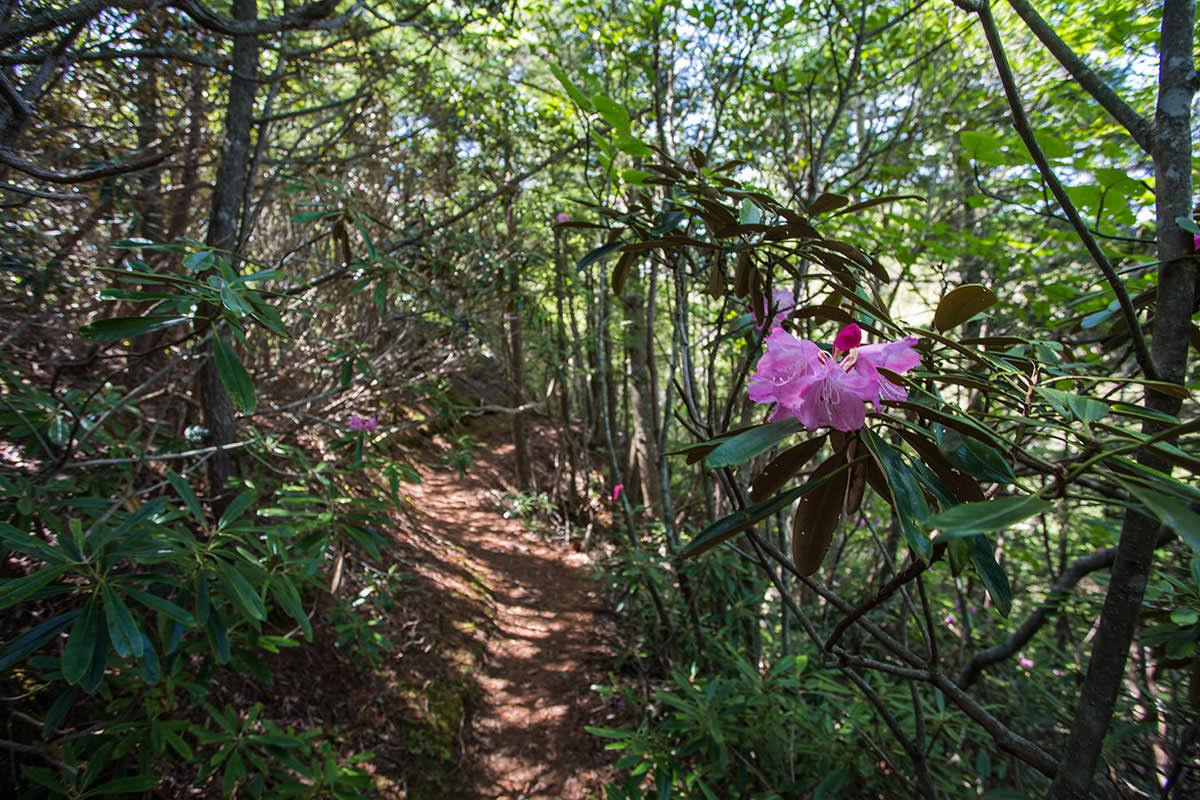 御座山-シャクナゲを見ながら登る