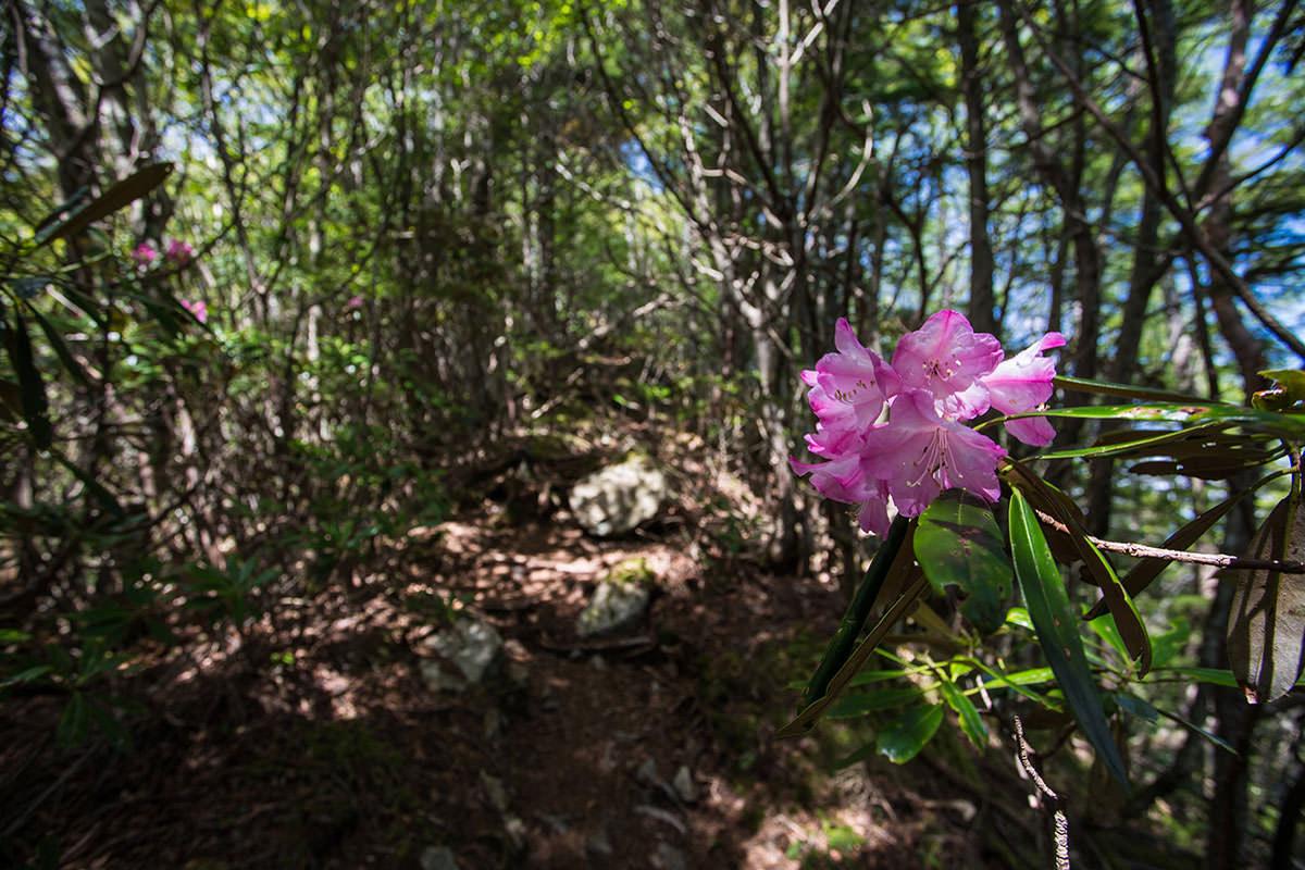 御座山-シャクナゲは咲いてる