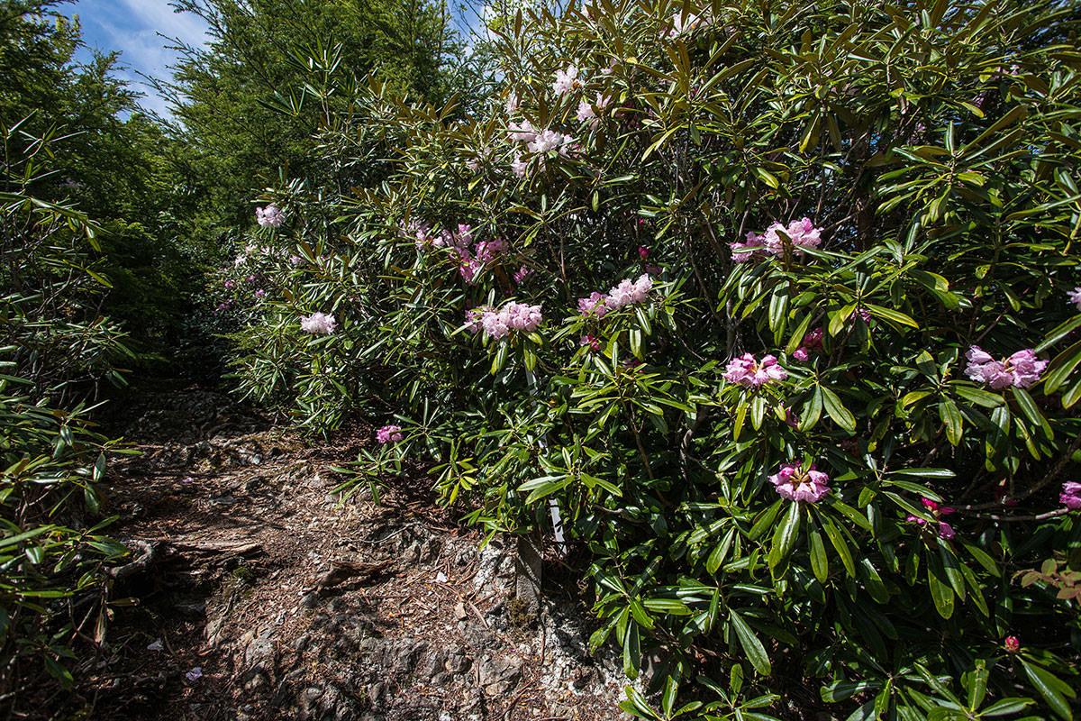 御座山-たくさん咲いている