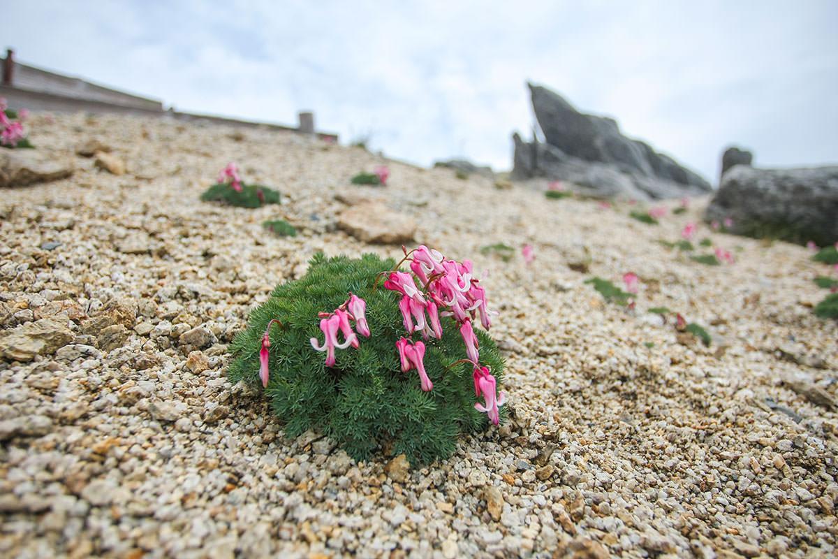 【大天井岳】登山百景-コマクサがたくさん