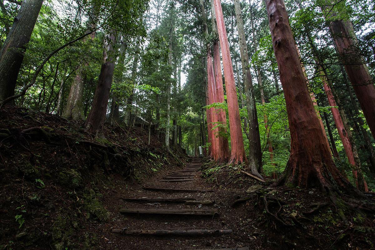 【七面山】登山百景-なぜか皮の無い杉