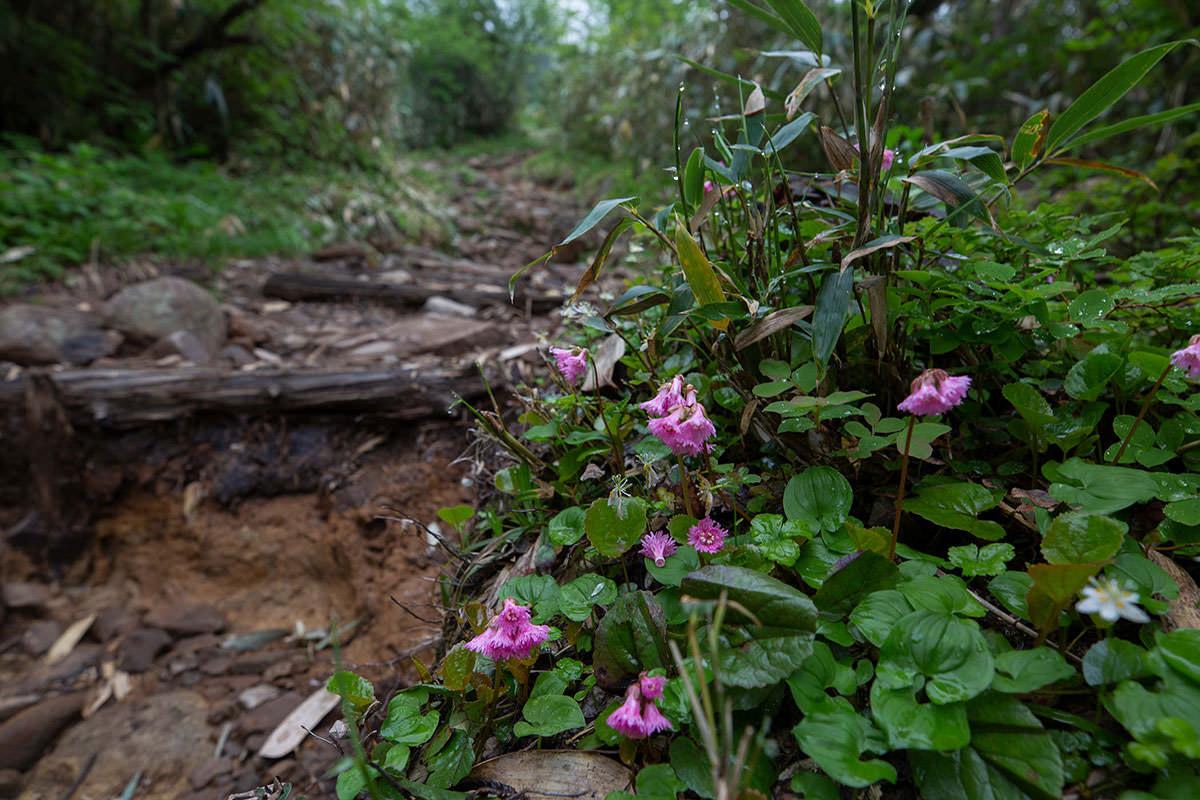 【白馬岳 栂池自然園】登山百景-イワカガミもちょいちょいある