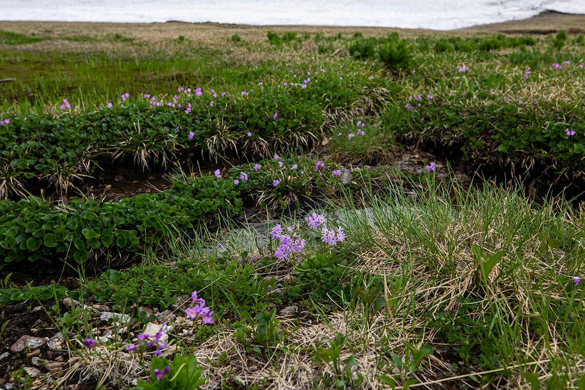 【白馬岳 栂池自然園】登山百景-紫の花