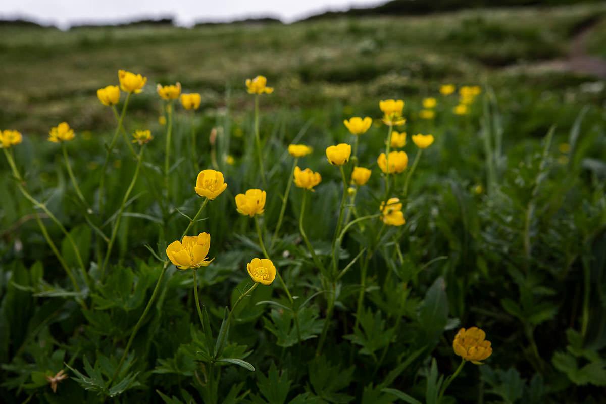 【白馬岳 栂池自然園】登山百景-黄色の花