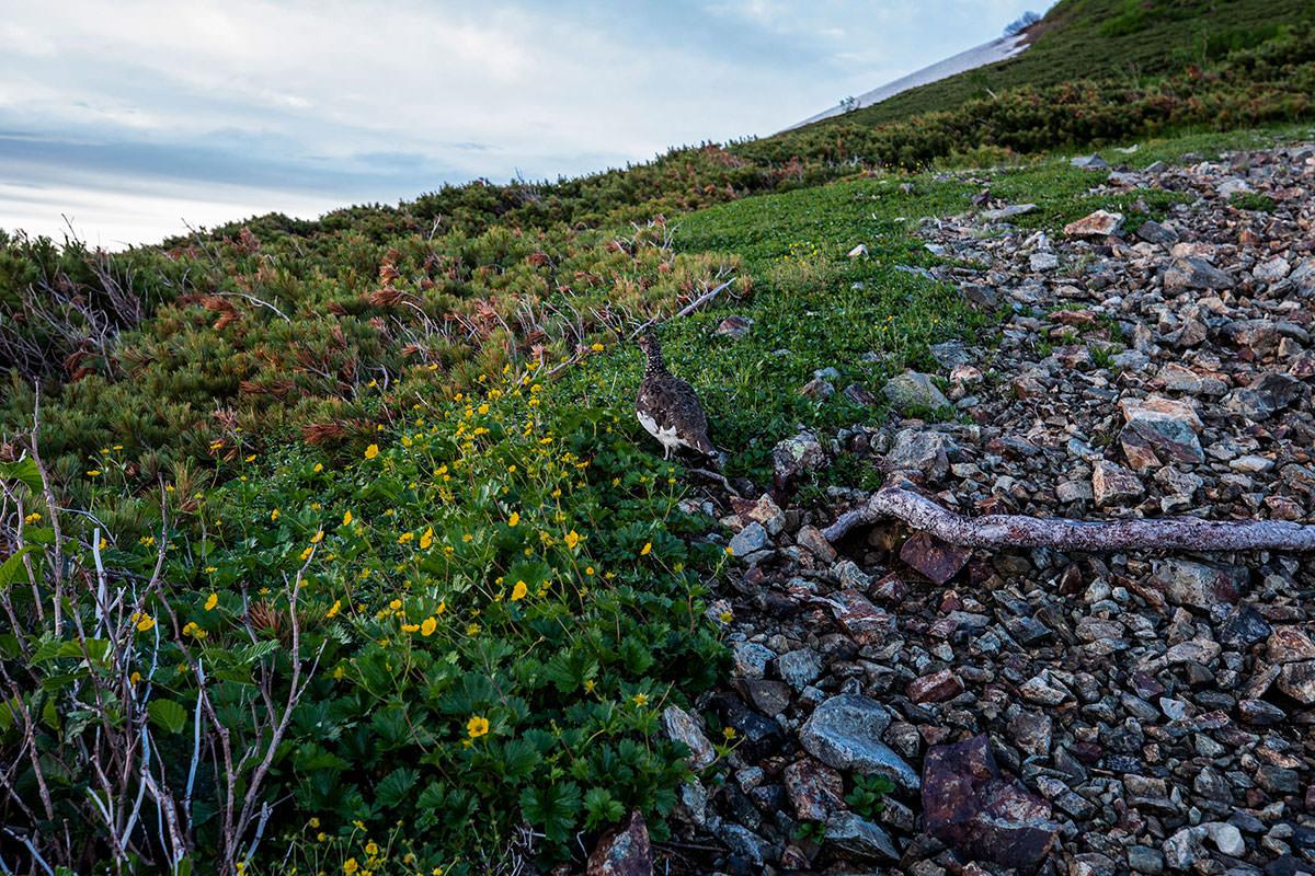 【白馬岳 栂池自然園】登山百景-ライチョウがいた