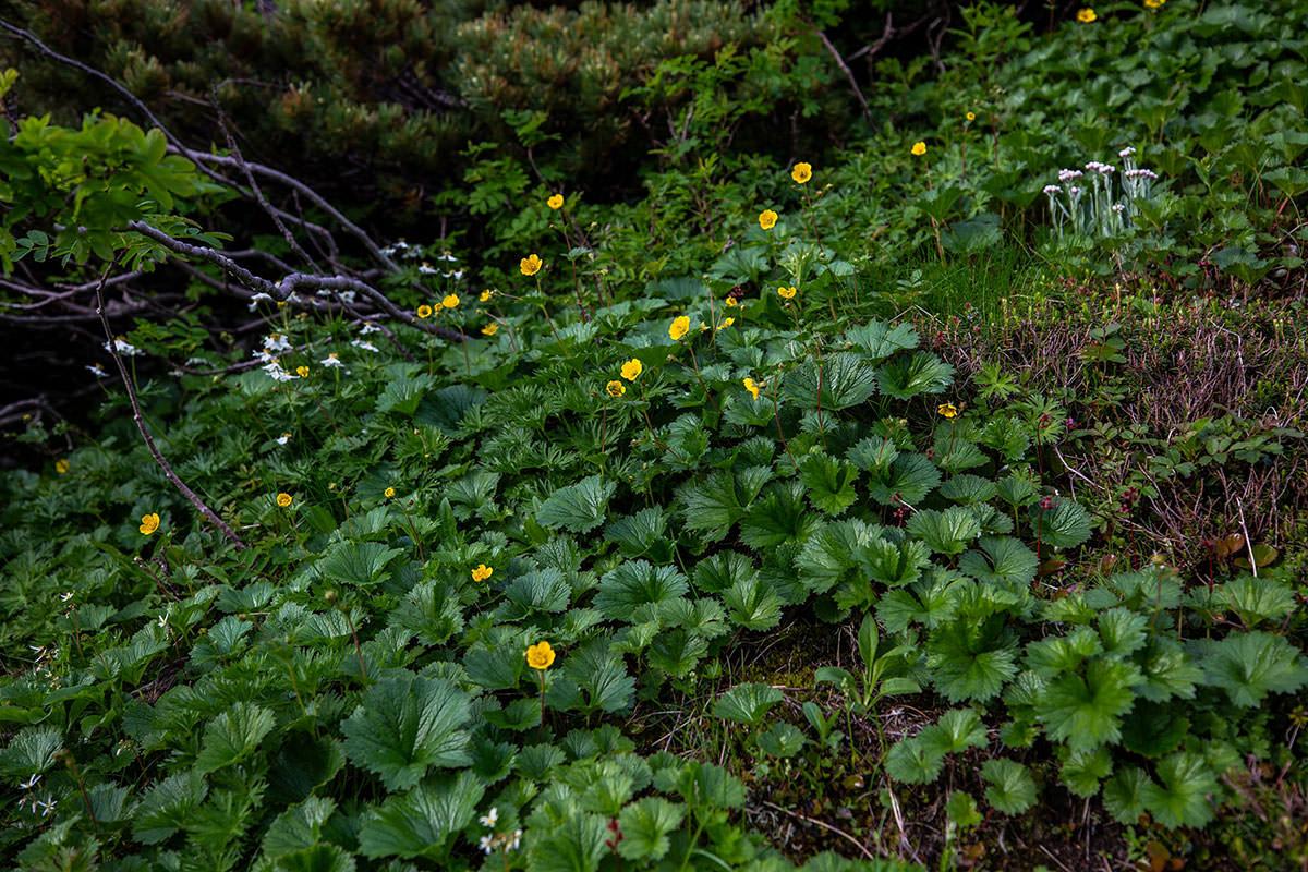 【白馬岳 栂池自然園】登山百景-黄色い花も多い