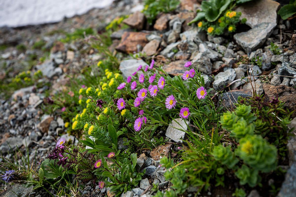【白馬岳 栂池自然園】登山百景-ピンクの花が増えてきた